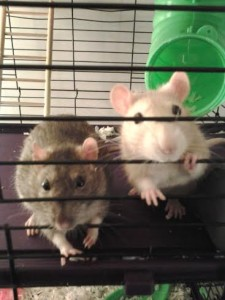 Bandit is on the left and Josie is on the right. Both are female rats!