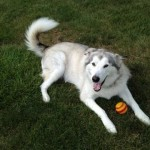 This is Myah. She weighs in over 100 lbs. She is a Malamute!