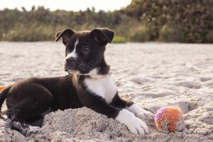 puppy beach ball